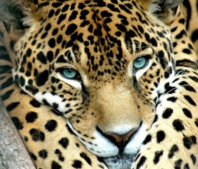 3962870-a-blue-eye-calm-jaguar-waching-for-prey